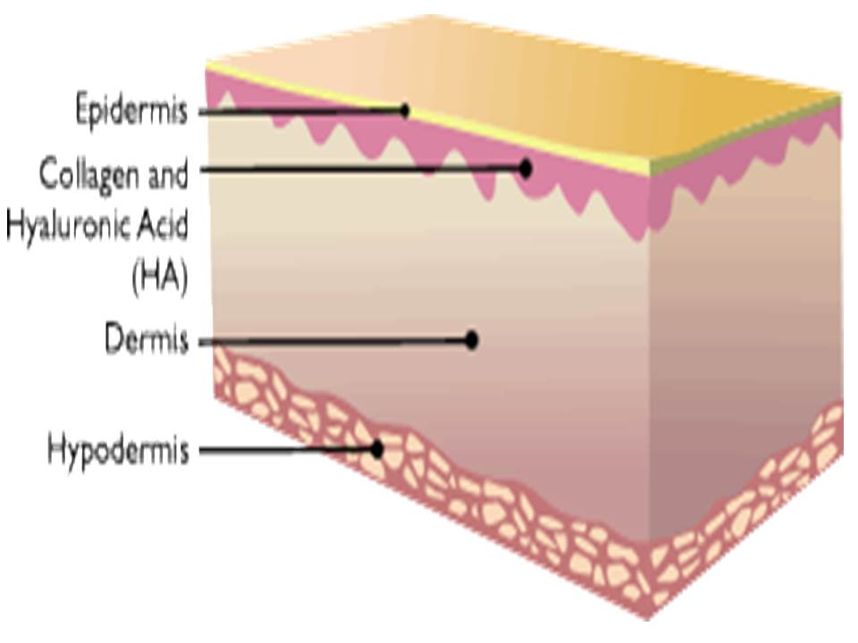Skin Cross Section with HA